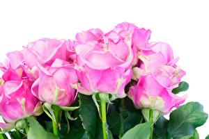 Обои Розы Крупным планом Белый фон Розовый Цветы картинки