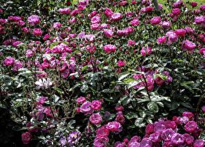 Фото Розы Много Розовый Цветы