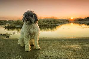 Картинки Рассветы и закаты Берег Собаки Пудель Животные