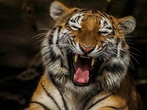 Обои Тигры Клыки Злость Забавные Усы Вибриссы Морда Животные
