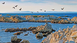 Картинка Америка Побережье Птицы Чайка Море Камень Калифорния Природа