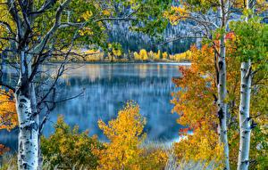 Картинка Штаты Озеро Осенние Калифорния Березы Деревья June Lake Природа