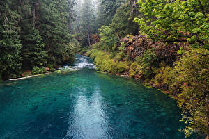 Картинка Штаты Речка Леса Ель McKenzie River Oregon