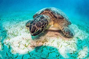 Фото Подводный мир Черепахи Крупным планом Животные