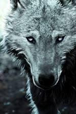 Картинки Волки Вблизи Рисованные Морда Смотрит