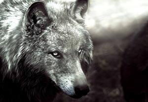 Фотография Волки Рисованные Черно белое Голова Животные