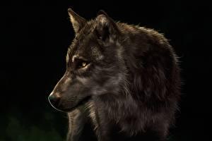 Обои Волки Рисованные Голова Черный фон