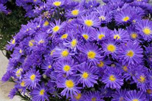 Фотография Астры Крупным планом Фиолетовый цветок
