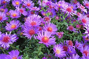 Обои Астры Вблизи Фиолетовый цветок