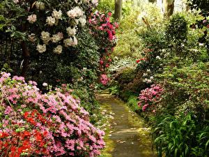 Фотографии Австралия Сады Рододендрон Кусты George Tindale Memorial Garden Sherbrooke Природа