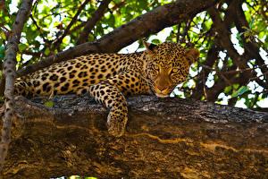 Фотографии Большие кошки Леопарды Смотрит Ствол дерева