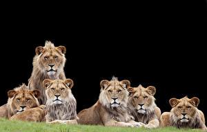 Фотография Большие кошки Львы Черный фон Взгляд
