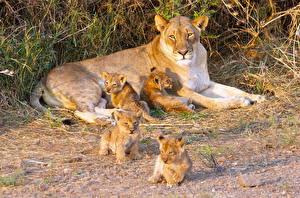 Картинки Большие кошки Львы Детеныши Львица