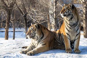 Фотография Большие кошки Тигры 2 Снег Животные