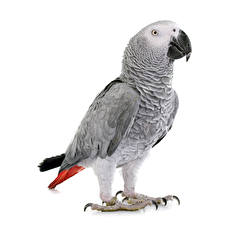 Картинка Птицы Попугаи Белый фон