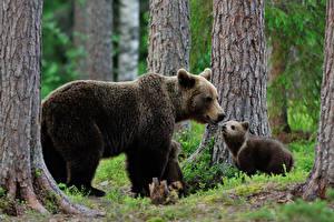 Фото Медведи Гризли Детеныши Ствол дерева Двое Животные