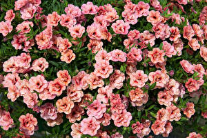 Фотография Калибрахоа Много Розовый Цветы