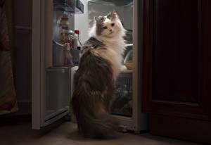 Картинки Кошки Взгляд Холодильник Бандит