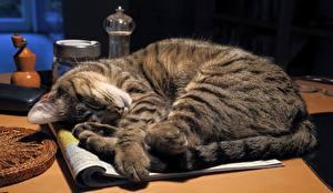 Обои Коты Спящий Животные