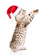 Картинка Рождество Кошки Белым фоном Котят В шапке животное