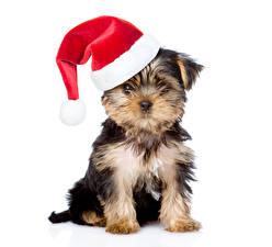 Картинка Рождество Собаки Белый фон Йоркширский терьер В шапке