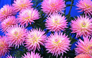Картинка Хризантемы Крупным планом Цветной фон Розовый Цветы