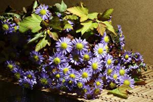 Картинки Хризантемы Вблизи Фиолетовый Листва Цветы