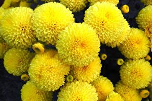 Фотография Хризантемы Крупным планом Желтый Цветы