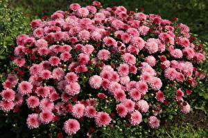 Фотография Хризантемы Много Розовые Цветы