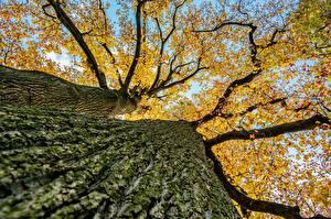 Картинки Вблизи Осенние Вид снизу Ствол дерева Ветвь Деревья Природа