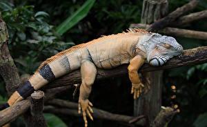 Обои Крупным планом Рептилии Игуана Животные картинки