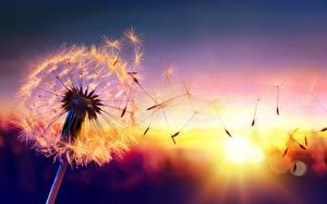 Картинки Вблизи Рассветы и закаты Одуванчики Цветы
