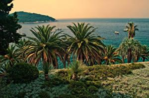 Фотография Хорватия Море Берег Пальмы Dubrovnik Природа