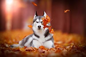 Обои Собаки Осенние Хаски Листья Siberian Животные