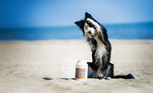 Обои Собаки Бордер-колли Песок