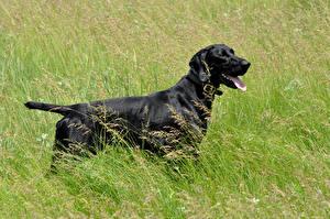 Фотографии Собаки Черный Трава Kurzhaar Животные