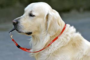 Картинки Собака Ретривера Морда Лабрадор-ретривер
