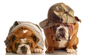 Фотография Собаки Белый фон 2 Бульдога Кепка Смешные Животные