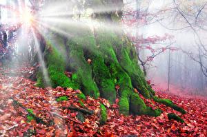 Обои Лес Осенние Ствол дерева Мхом Листья Лучи света Природа