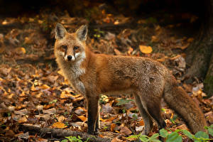Фото Лисица Взгляд Листва Животные