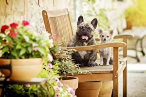 Фото Французский бульдог Собаки Чихуахуа Скамья