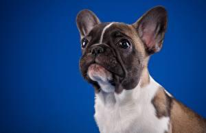 Фотография Французский бульдог Собака Смотрит Цветной фон