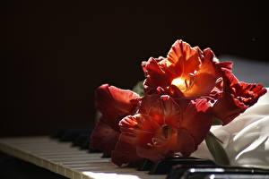 Обои Гладиолусы Крупным планом Пианино Красный