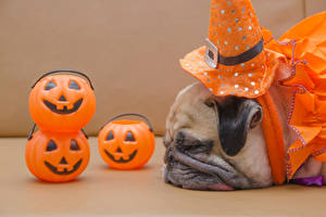 Фото Хеллоуин Собаки Тыква Мопс Морда Спит