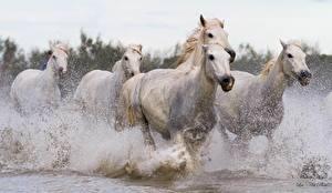 Картинка Лошади Белый Бег Брызги Животные