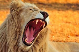 Картинки Львы Клыки Оскал Язык (анатомия) Зубы Животные