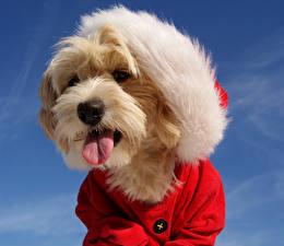 Картинка Мальтезе Собаки Новый год Шапки Язык (анатомия) Животные