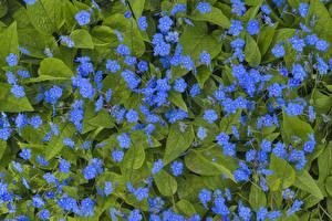 Картинки Много Голубой Myosotis Цветы