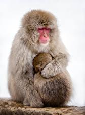 Фото Обезьяны Детеныши Белый фон 2 Животные