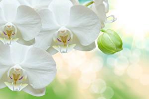 Обои Орхидея Вблизи Белая Цветы